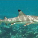 Snorkel con tiburones en las islas Perenthian